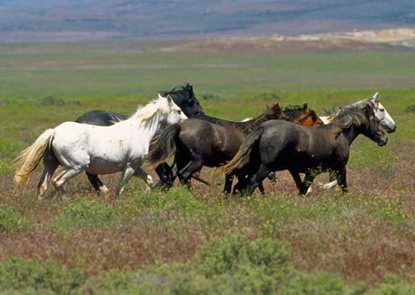 Mustangs per Bureau of Land Management [Domini Públic], via Wikimedia Commons