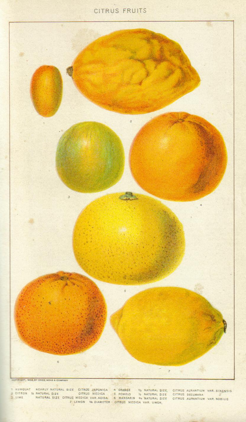 Illustration of citrus fruits