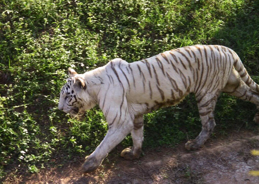 A White Tiger inside Nandankanan Zoological Park