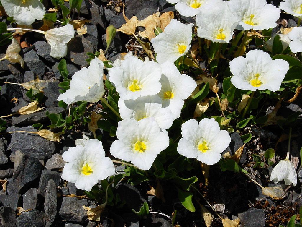 Nierembergia Rivularis Wikipedia
