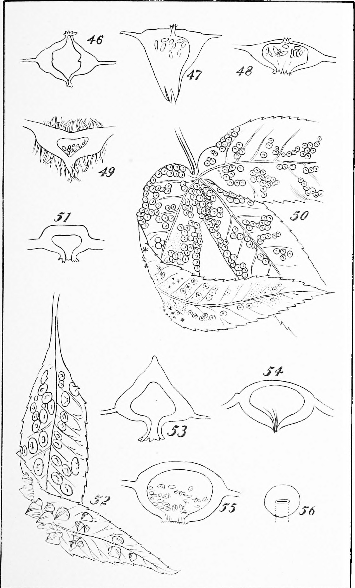 section—enlarged.- Phylloxera c.-scissa Riley. Fig- 55. Mature gall, vertical section—enlarged. Fig. 56. Mature gall, showing transverse slit—natural size. PLATE
