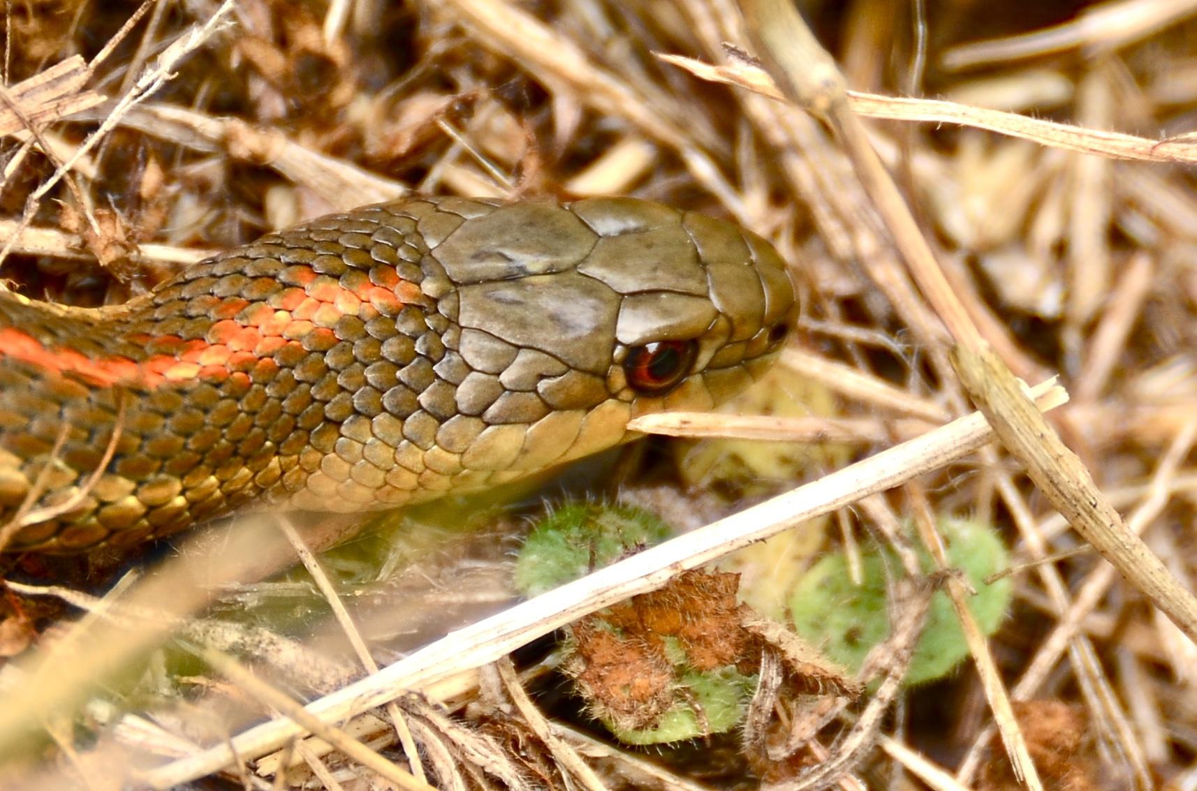 File:Northwestern Garter Snake - Del Norte County.jpg - Wikimedia ...