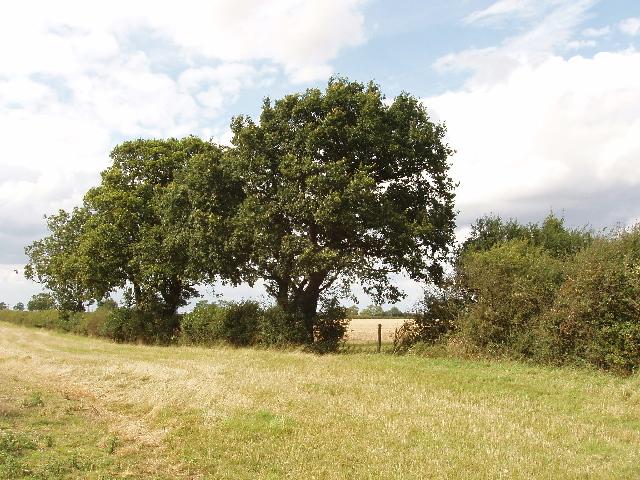 Oak trees by Dungee Wood, near Bozeat - geograph.org.uk - 532289