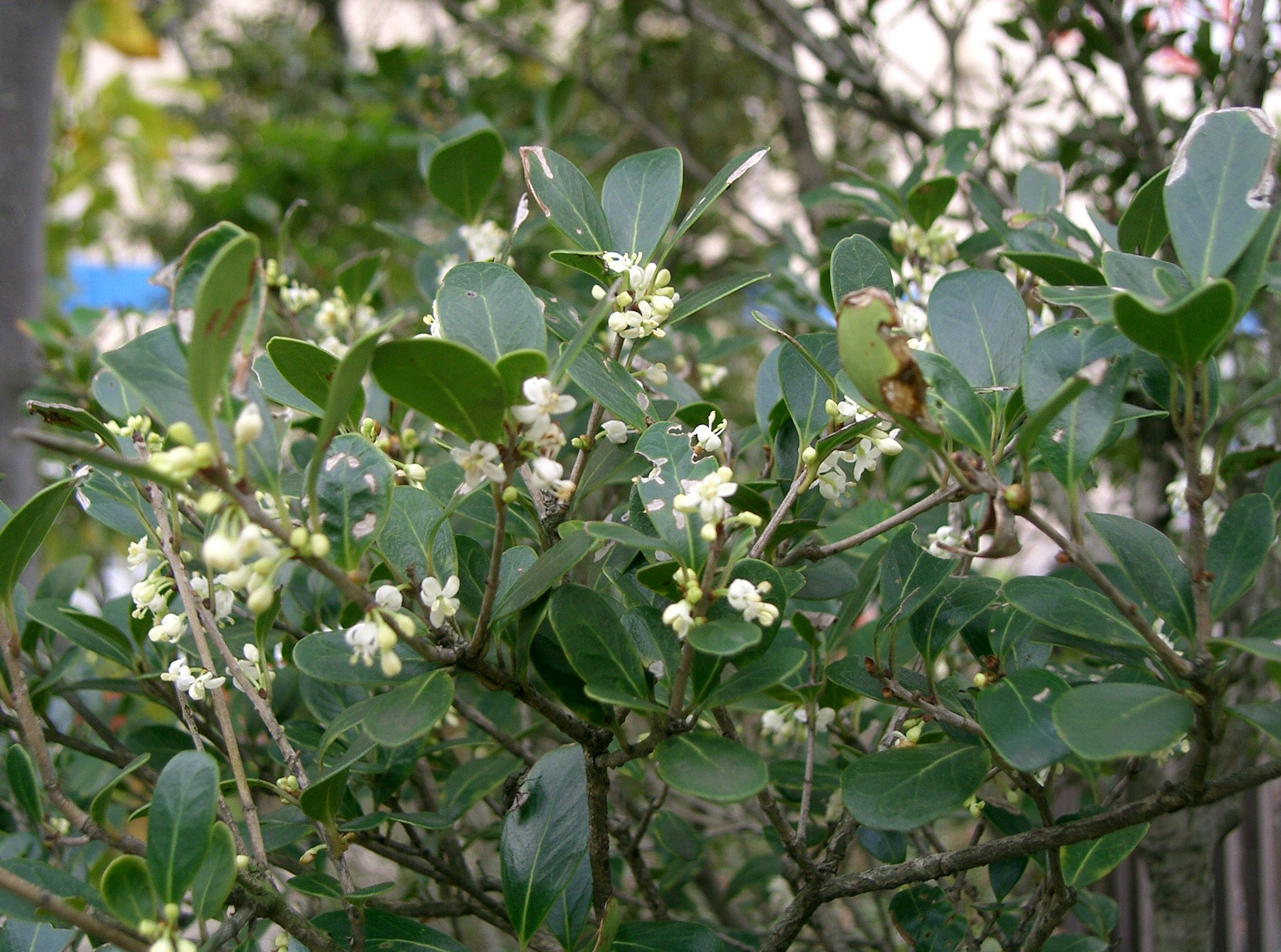 File osmanthus heterophyllus - Osmanthus siepe ...