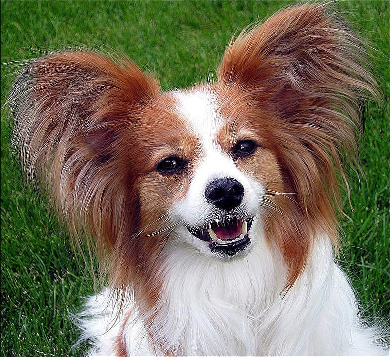 Image result for Papillon