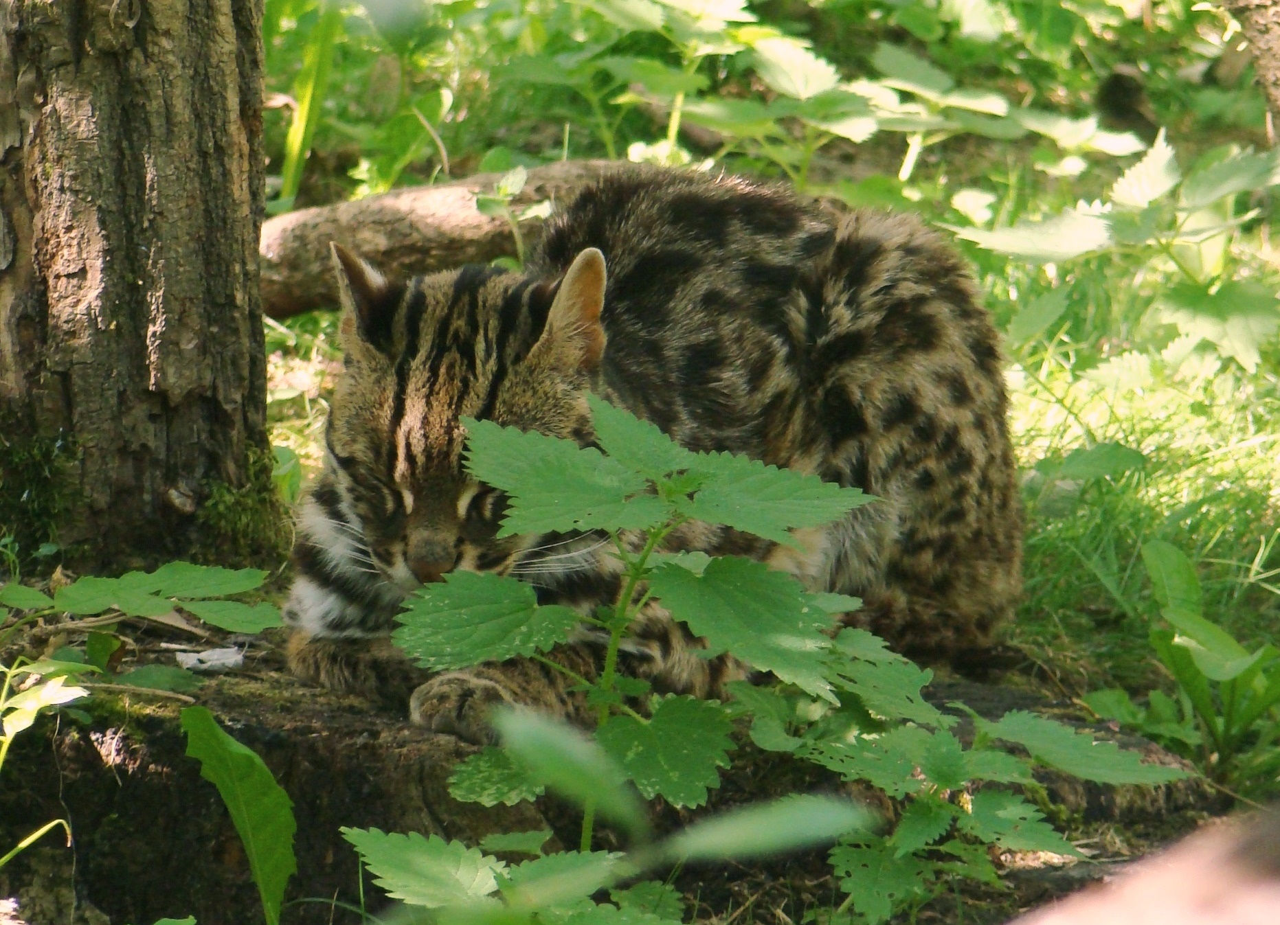 Leopard cat - Wikipedia