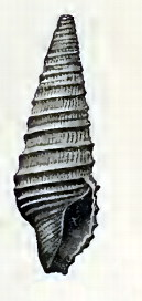 <i>Pulsarella cognata</i> Species of gastropod