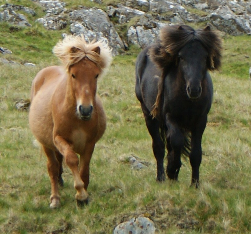 Faroe pony Wikipedia