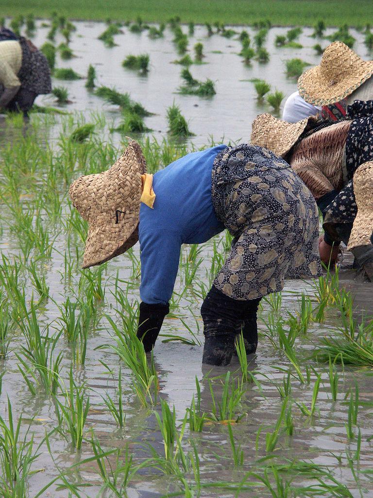 Ženy sadia ryžu (Irán)