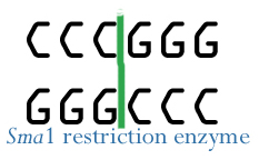 Illustration of Sma1 restriction enzyme cleavage.