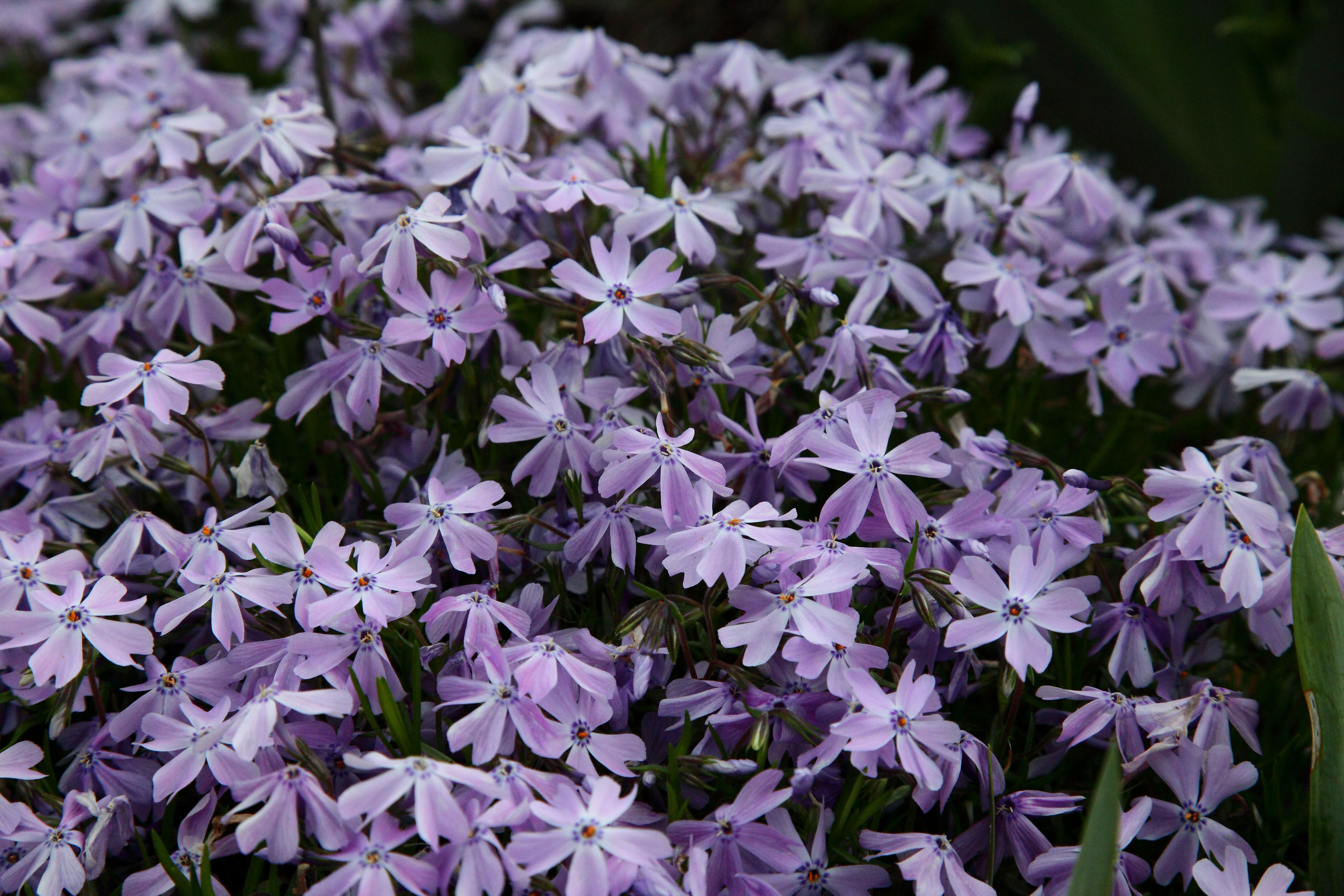 Filespring Purple Flox Flowers West Virginia Forestwanderg