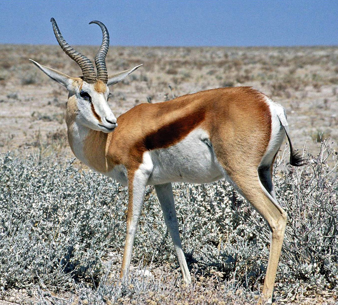 http://upload.wikimedia.org/wikipedia/commons/5/56/Springbok_Namibia.jpg