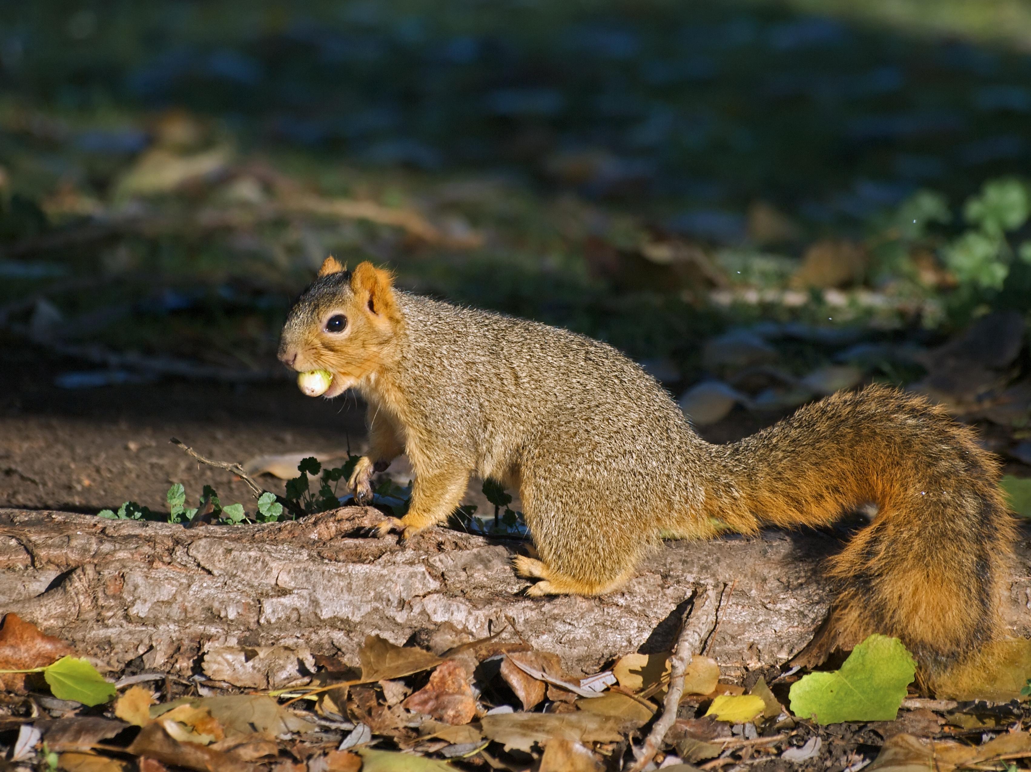 Short essay on squirrel