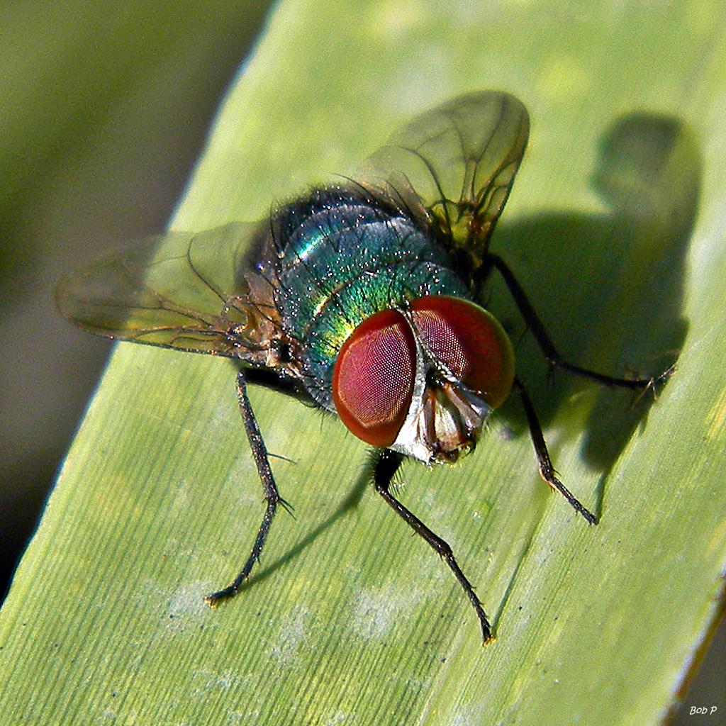 File:Thru The Eyes Of Ruby (the fly) (8219315716).jpg ... Fly Eyes