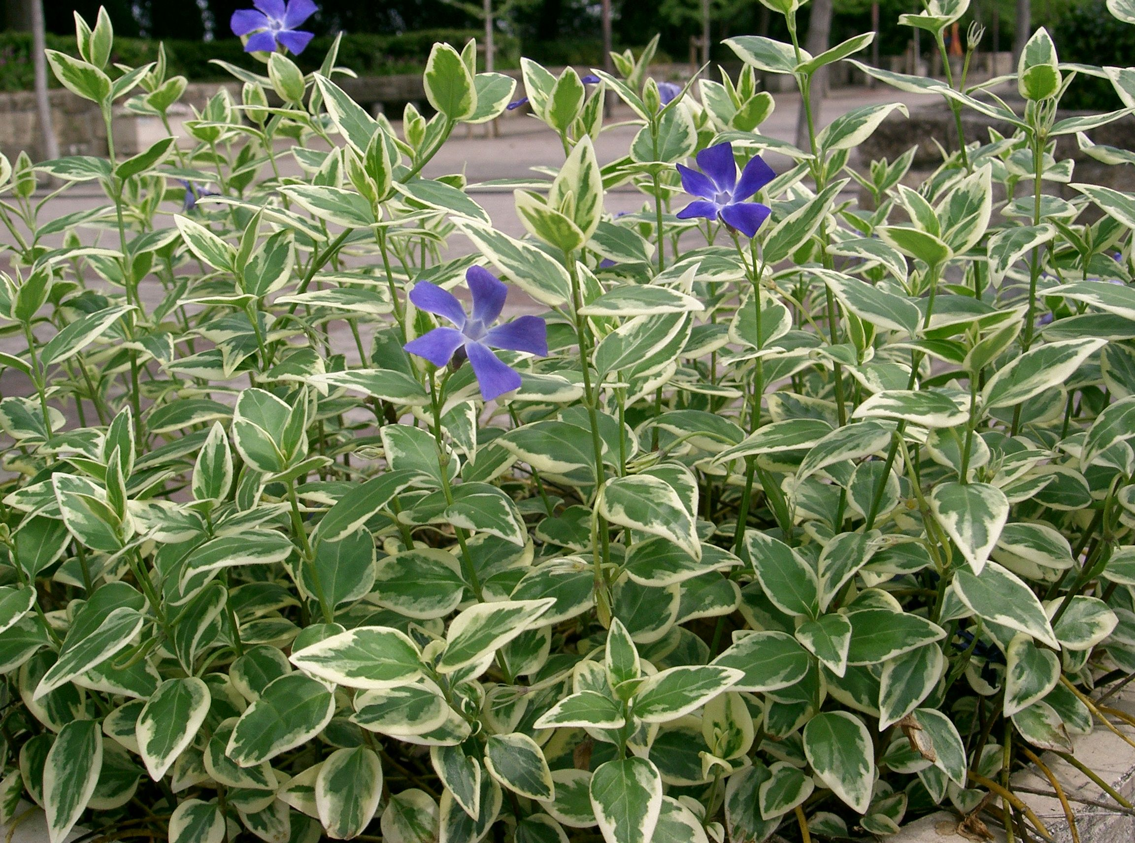 file vinca wikimedia commons
