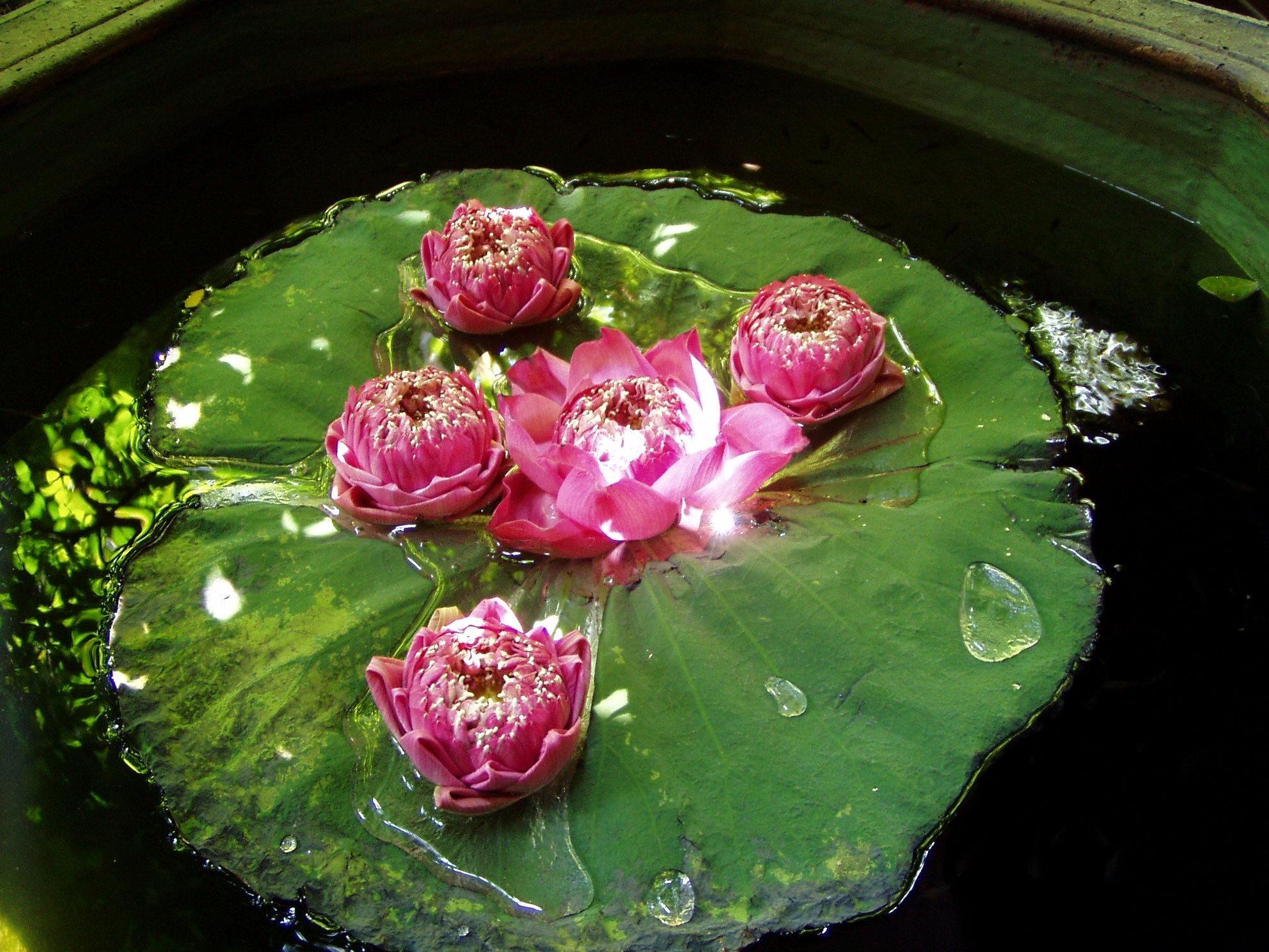 Lotus Flower Wikipedia Free Encyclopedia Images Flower Decoration