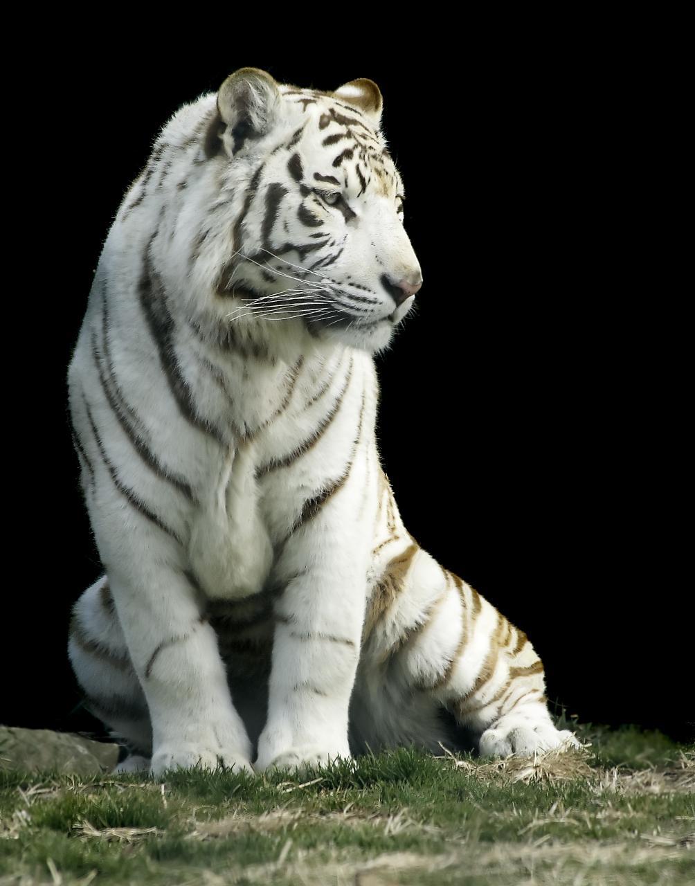 Image Result For Snow Tiger Color