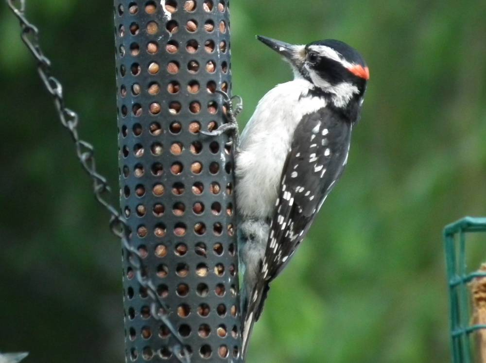 do woodpeckers eat wood 2