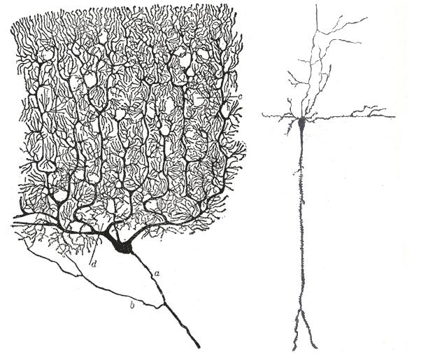 File:Zwei Verschiedene Neurone.png
