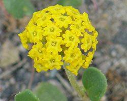 Abronia latifolia.jpg