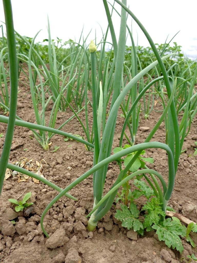 Allium cepa 01.JPG