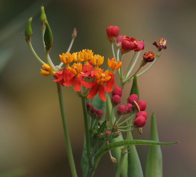 Asclepias_curassavica_%28Mexican_Butterfly_Weed%29_W_IMG_1488.jpg