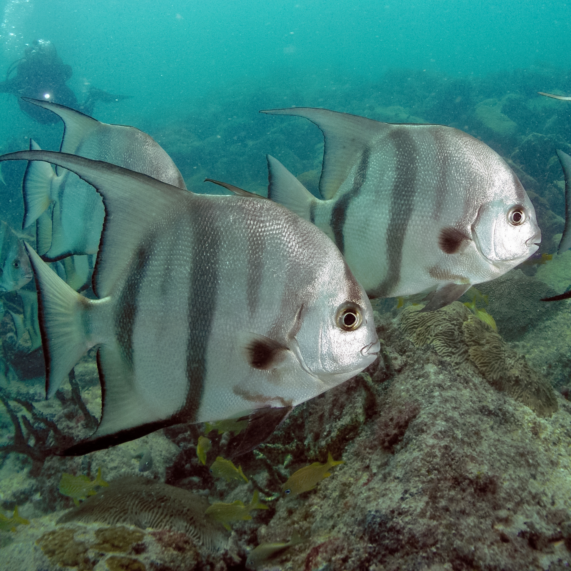 Atlantic spadefish wikipedia for Atlantic game fish