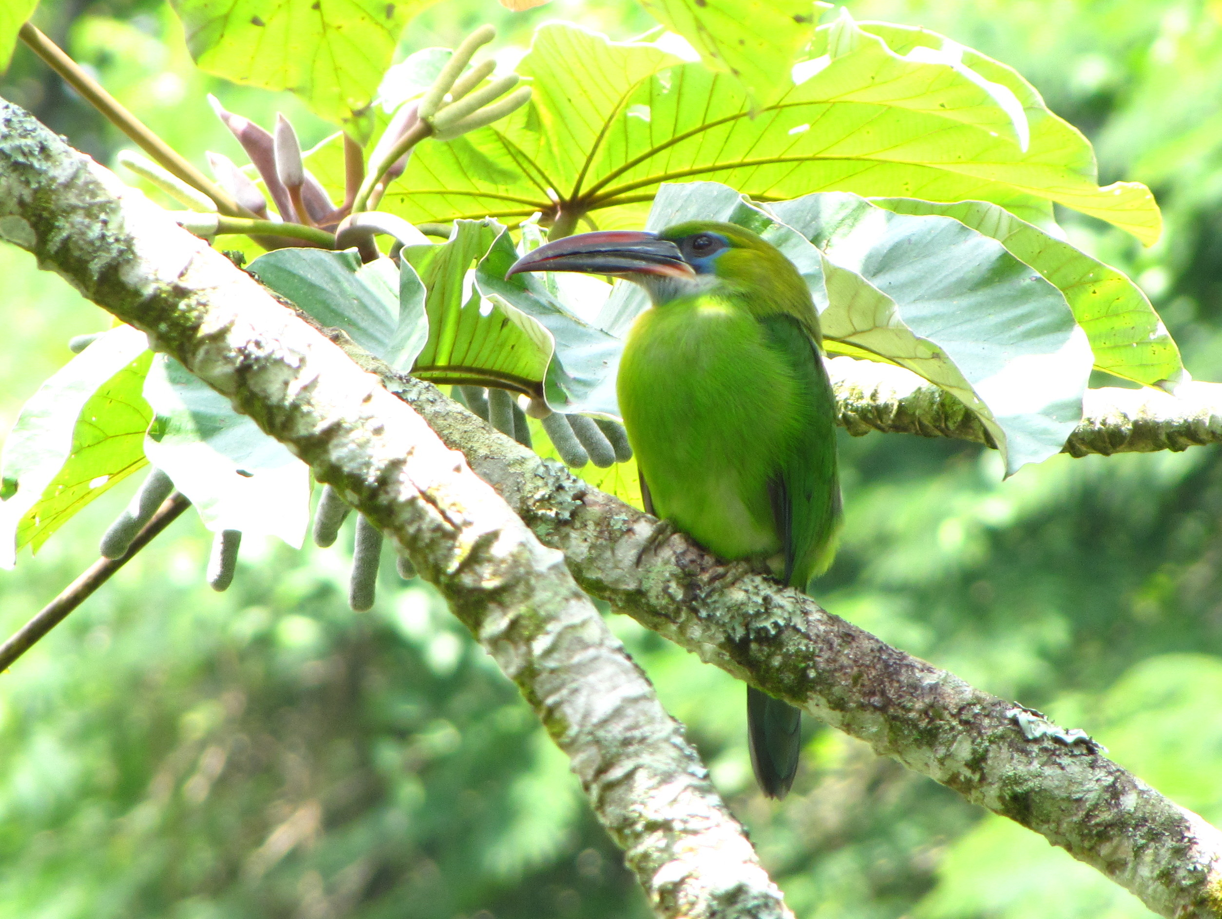 https://upload.wikimedia.org/wikipedia/commons/5/57/Aulacorhynchus_sulcatus_-Aragua_State_-Venezuela-8.jpg