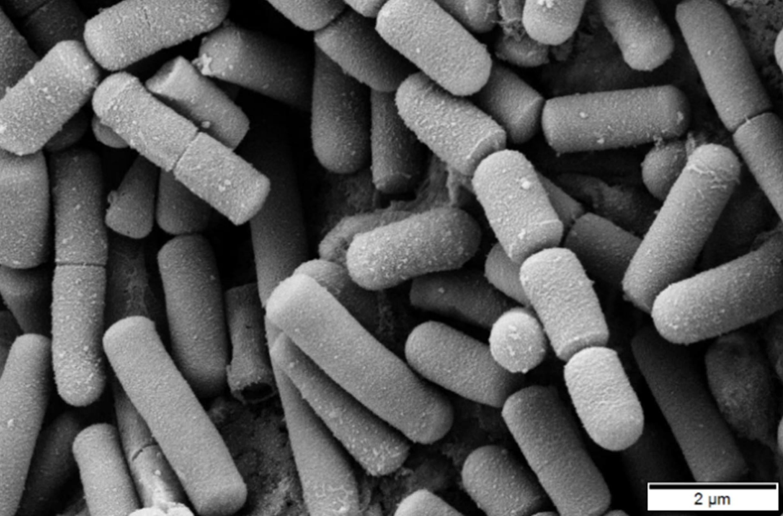 Imagen de microscopía de bacterias Bacillus