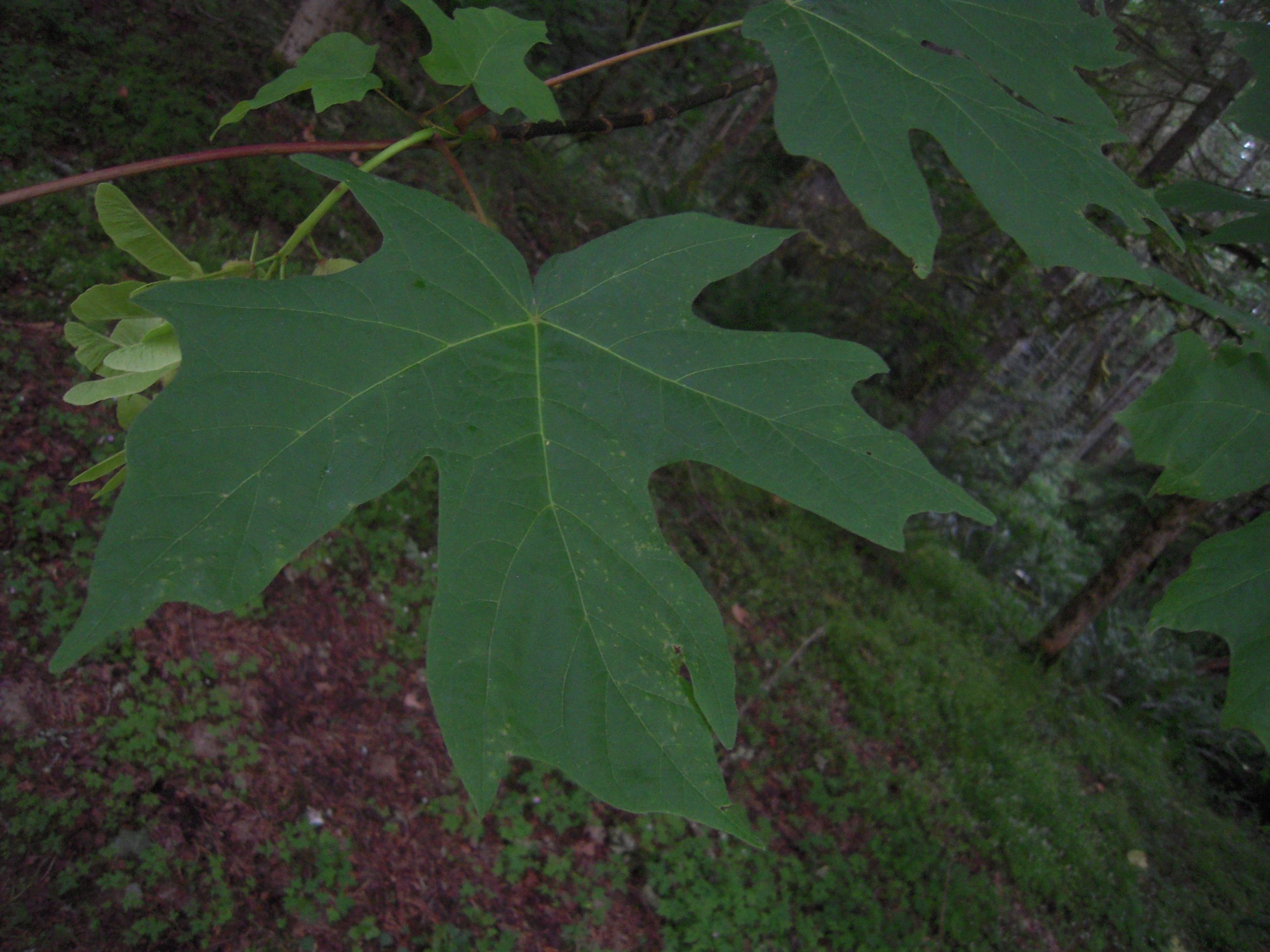 Filebigleaf Maple Acer Macrophyllum Leafjpg Wikimedia Commons