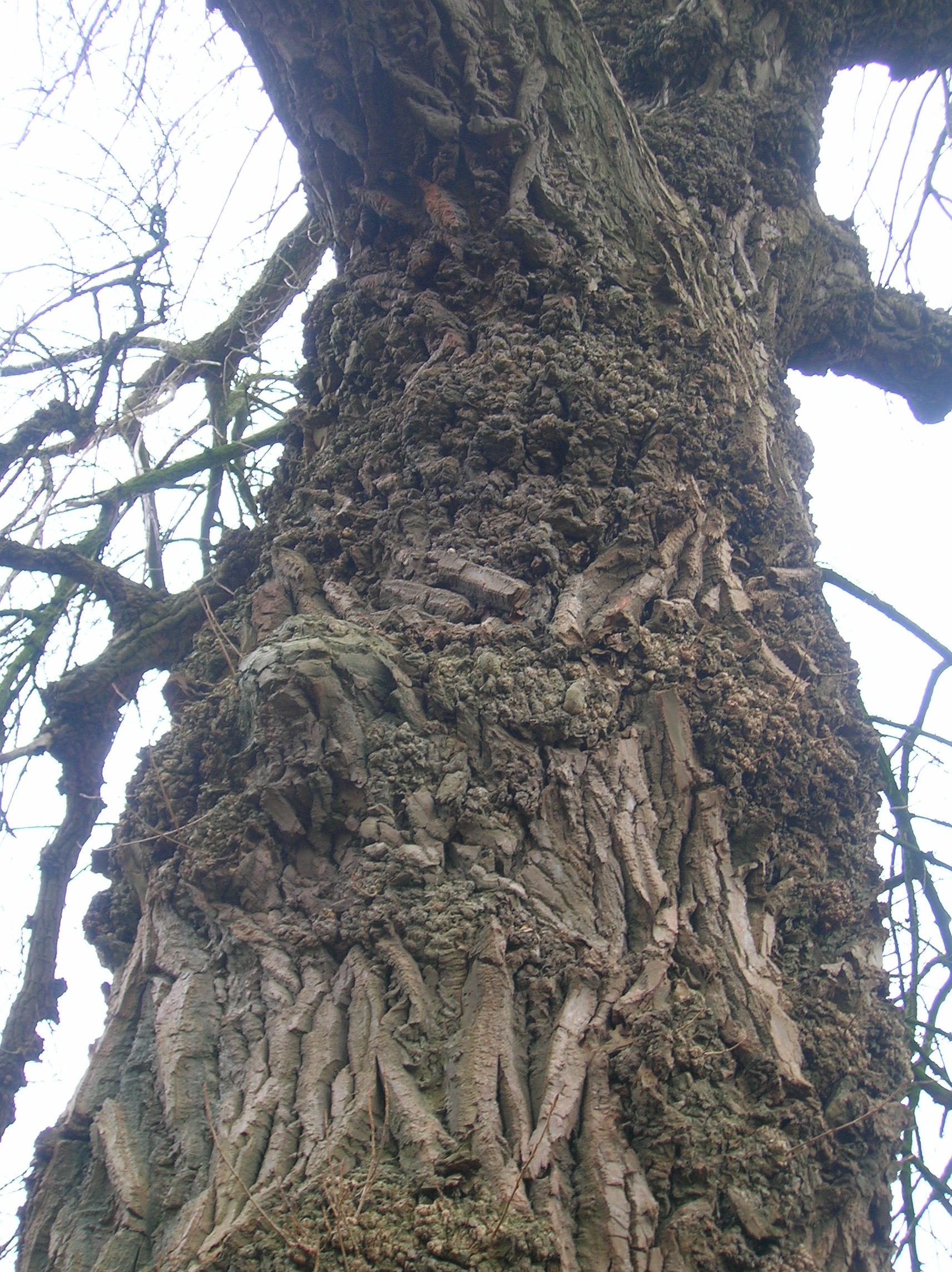 File:Black Poplar burrs and bark.JPG - Wikipedia, the free ...