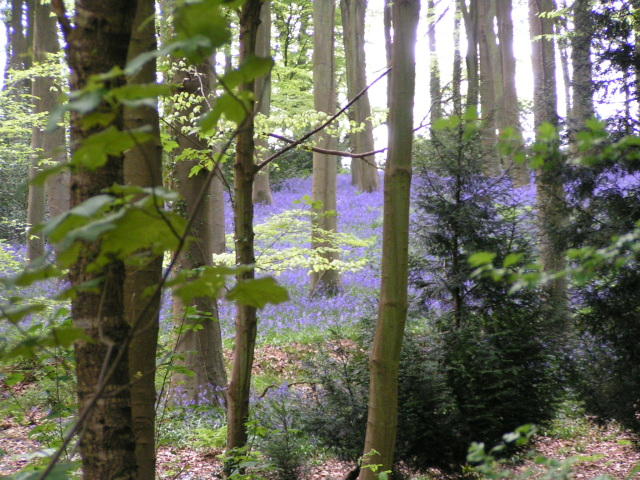 Bluebells in West Woods - geograph.org.uk - 1318977