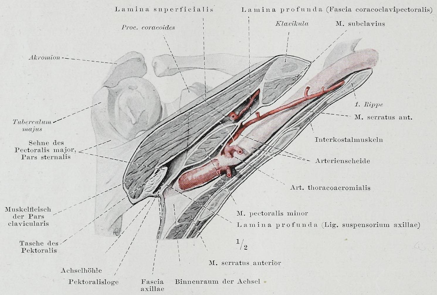 Berühmt Anatomie Der Achselhöhle Zeitgenössisch - Menschliche ...