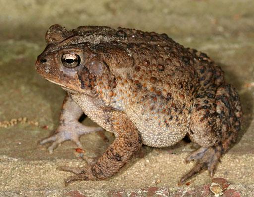 Amphibians Toads List of amphibians of ...