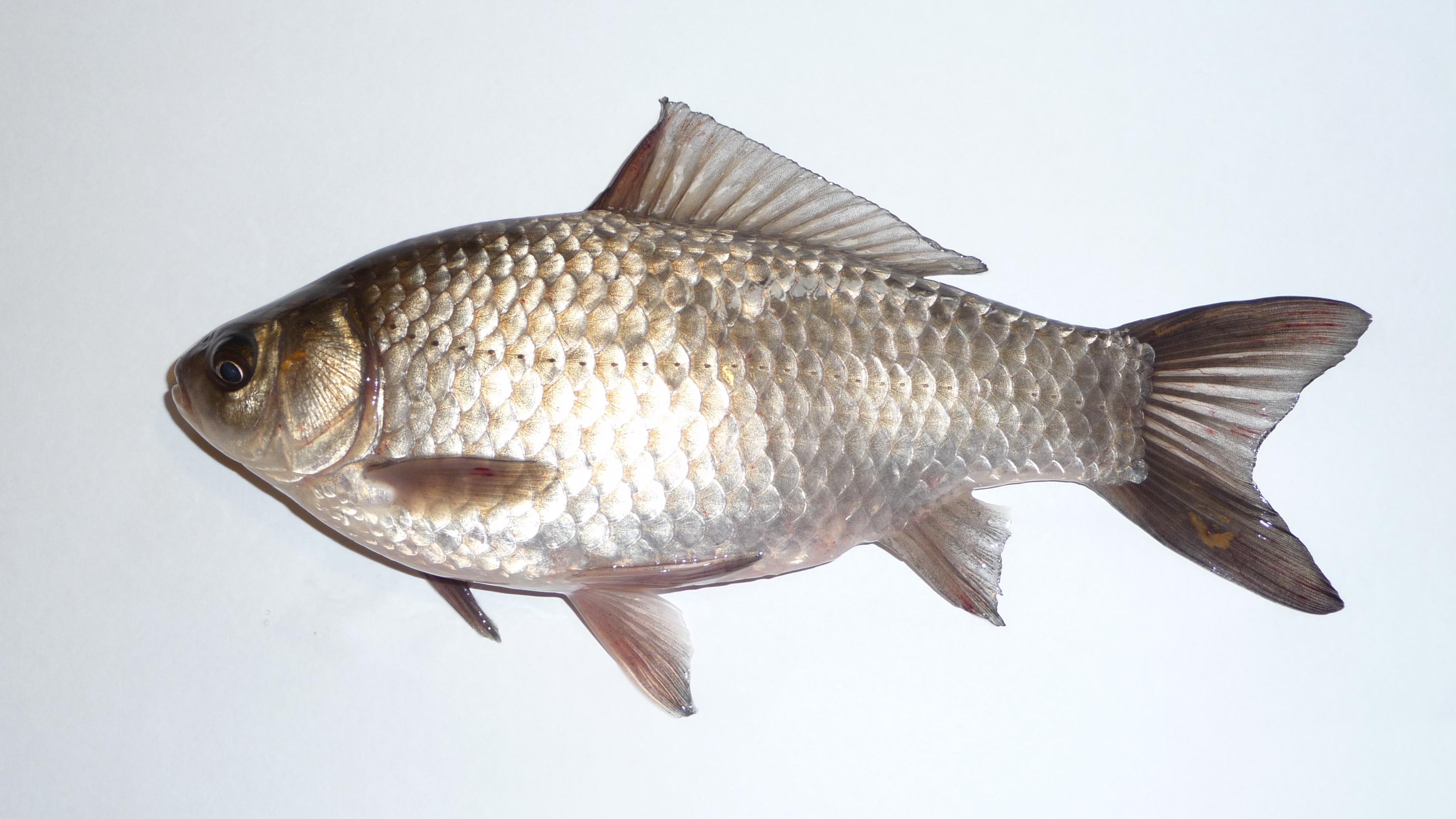 рыба гальян фото