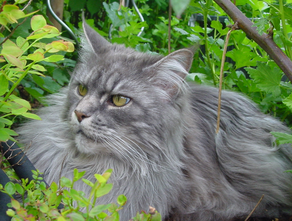 Blue Maine Coon Cat
