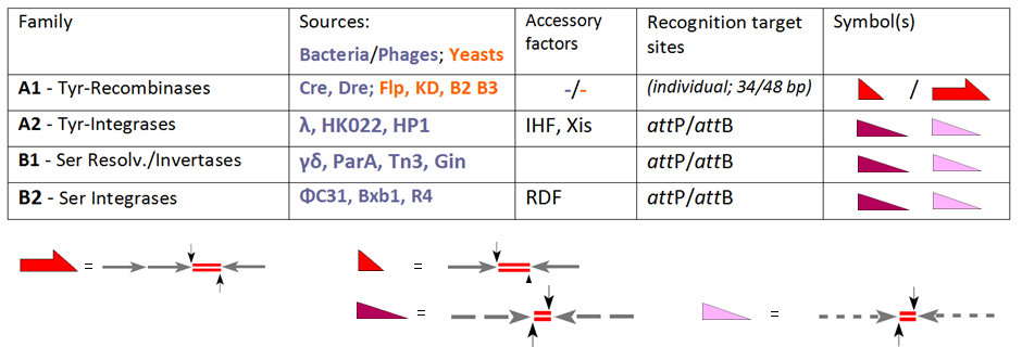 Figure 1: Classification of site-specific recombinases