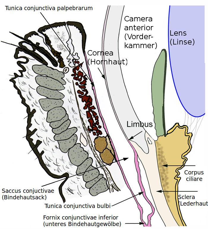 Bindehaut – Wikipedia