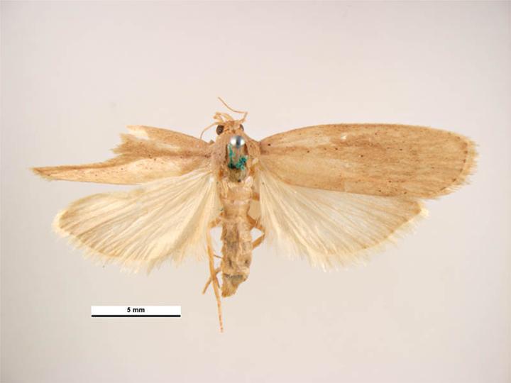 Rice moth diagram.