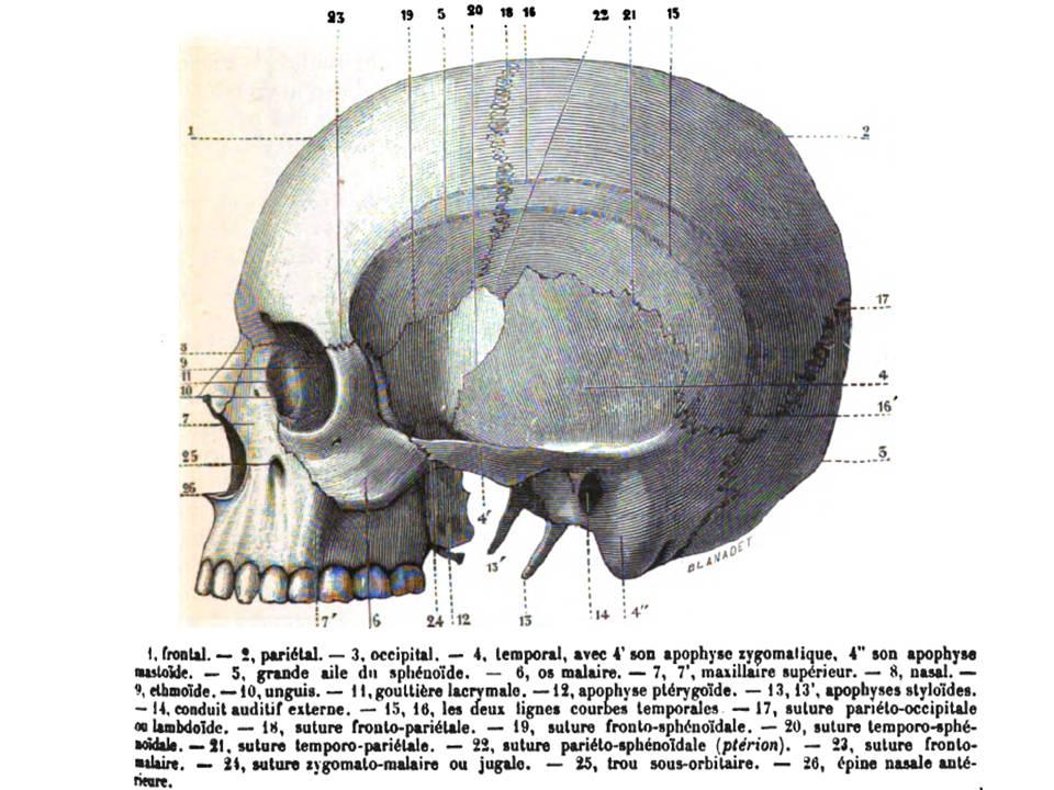 Fein Temporalen Knochen Anatomie Galerie - Menschliche Anatomie ...