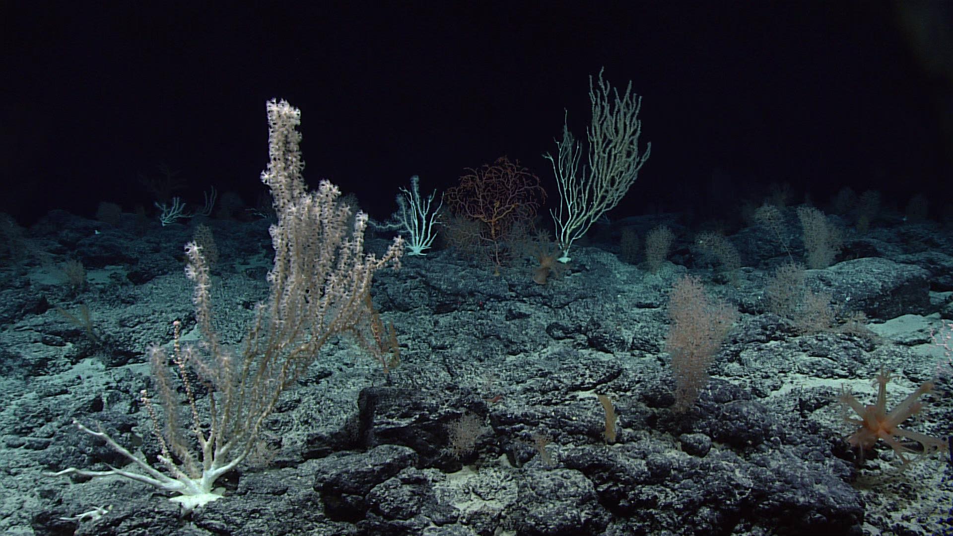 Deep_sea_corals%2C_Wagner_Seamount.jpg