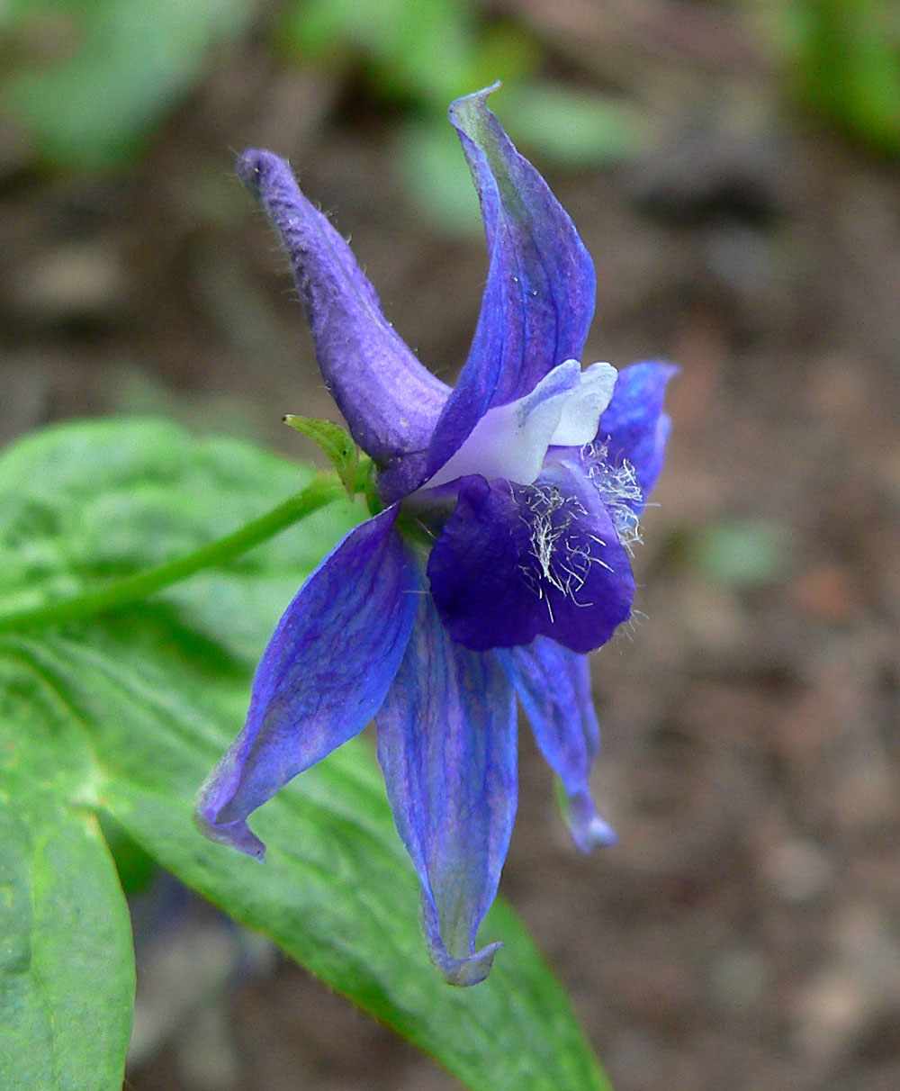 cnps inventory of rare and endangered plants of california