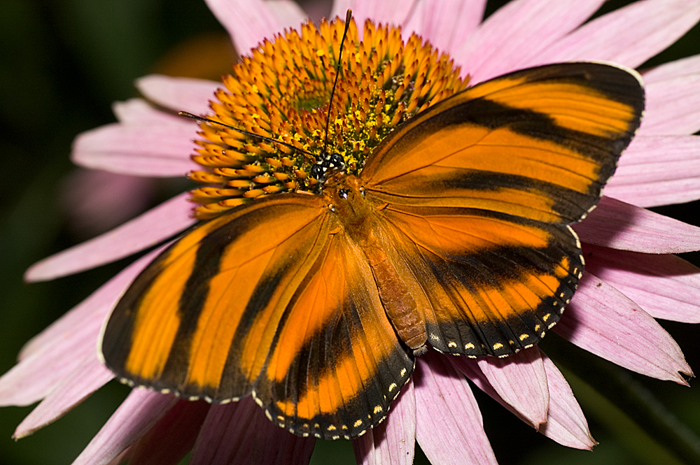 English: Shot at the Minnesota Zoo's Butterfly...