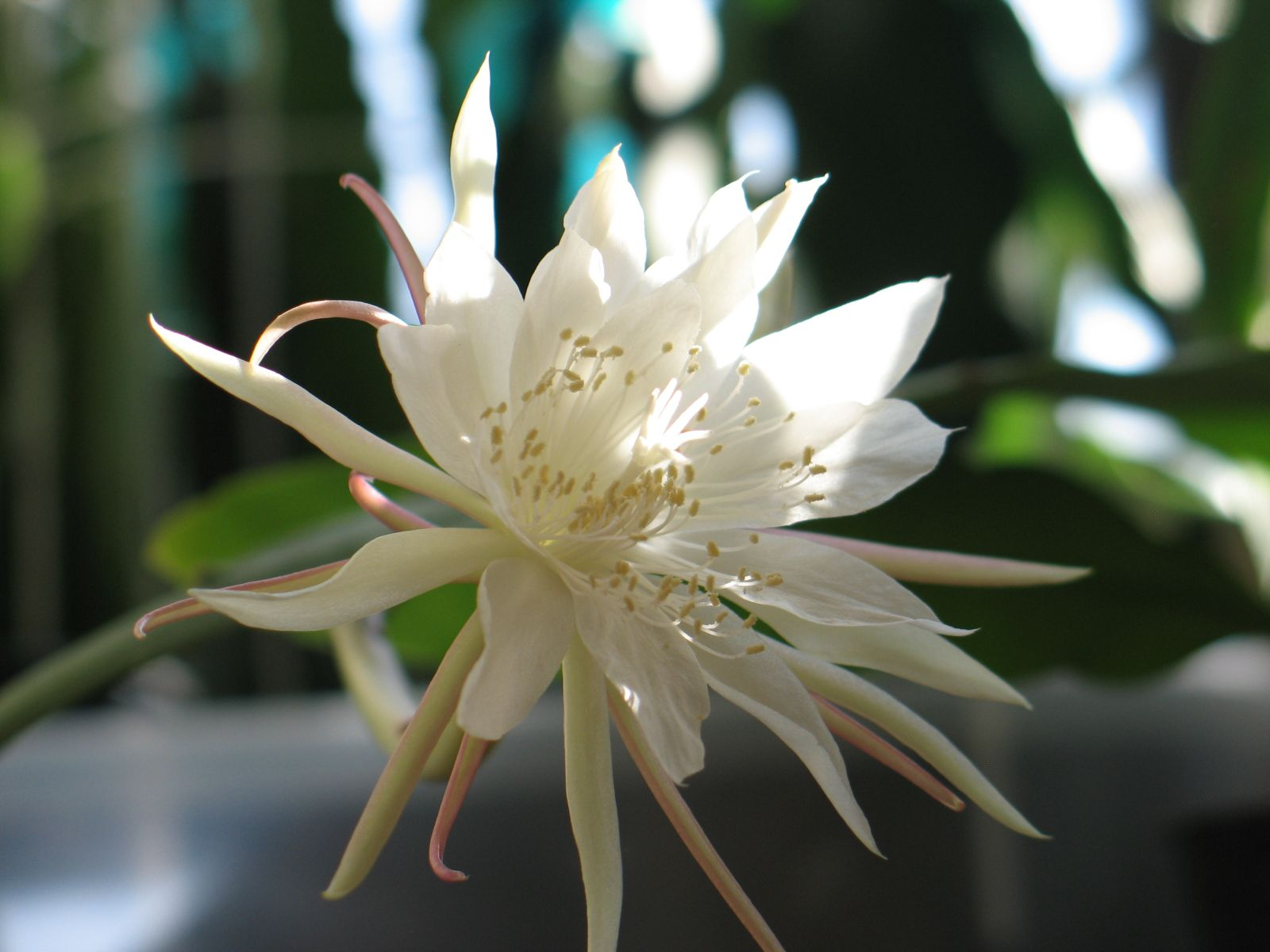http://upload.wikimedia.org/wikipedia/commons/5/57/Epiphyllum_pumilum286970600.jpg