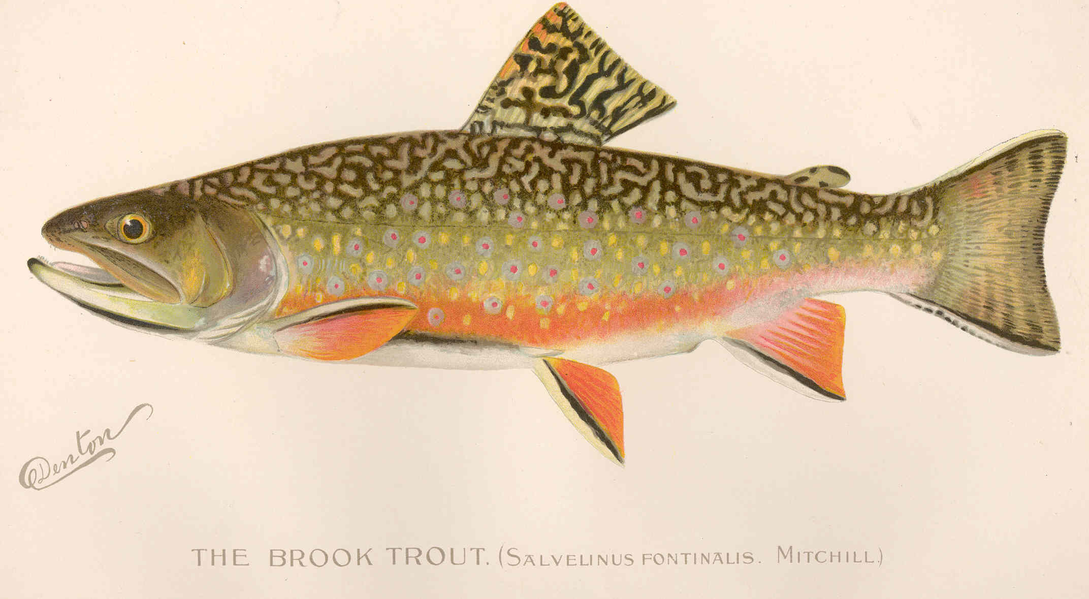 File fmib 42995 brook trout salvelinus fontinalis for Trout fish pictures