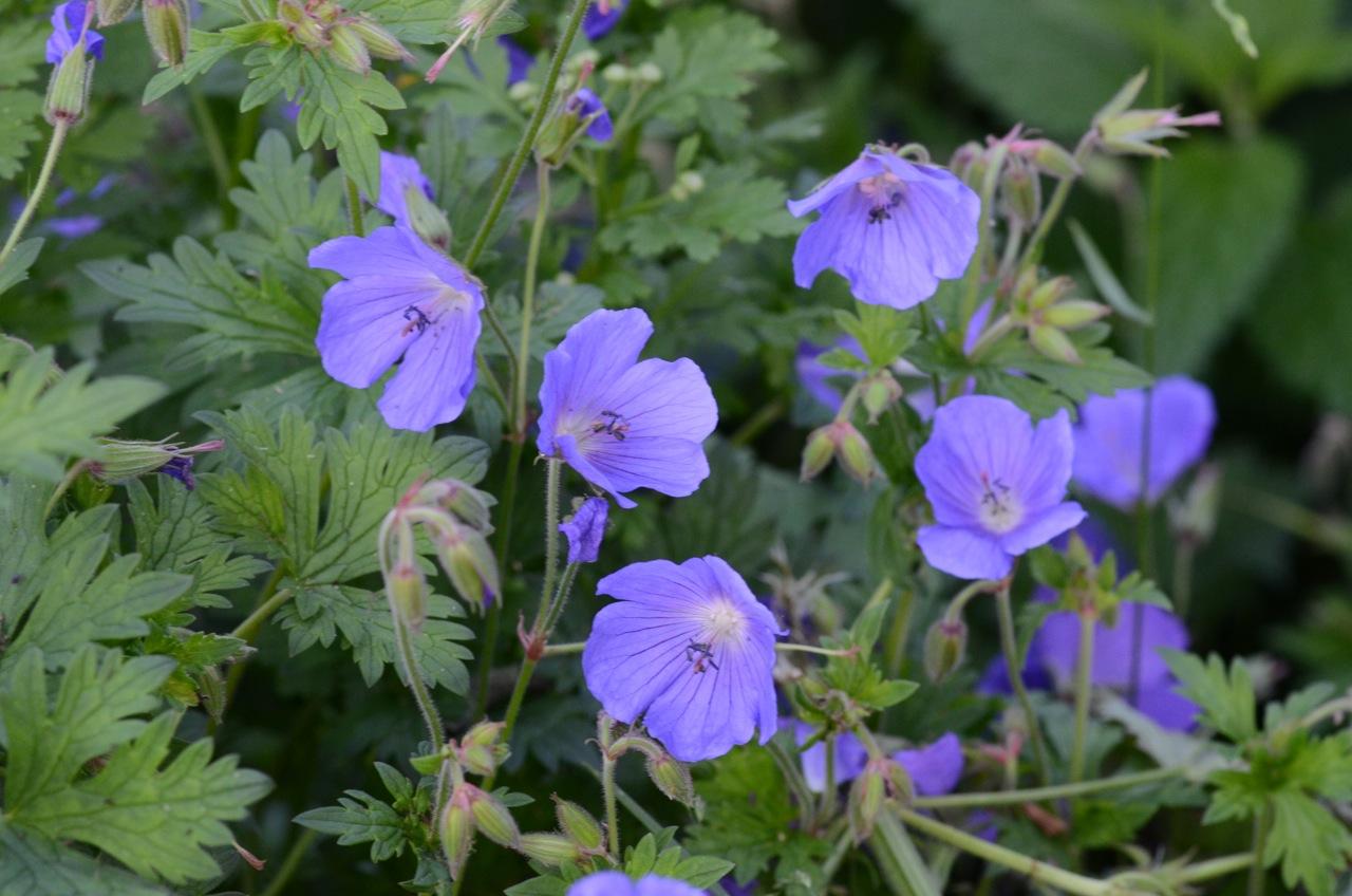 Description Geranium pratense (8337809336).jpg