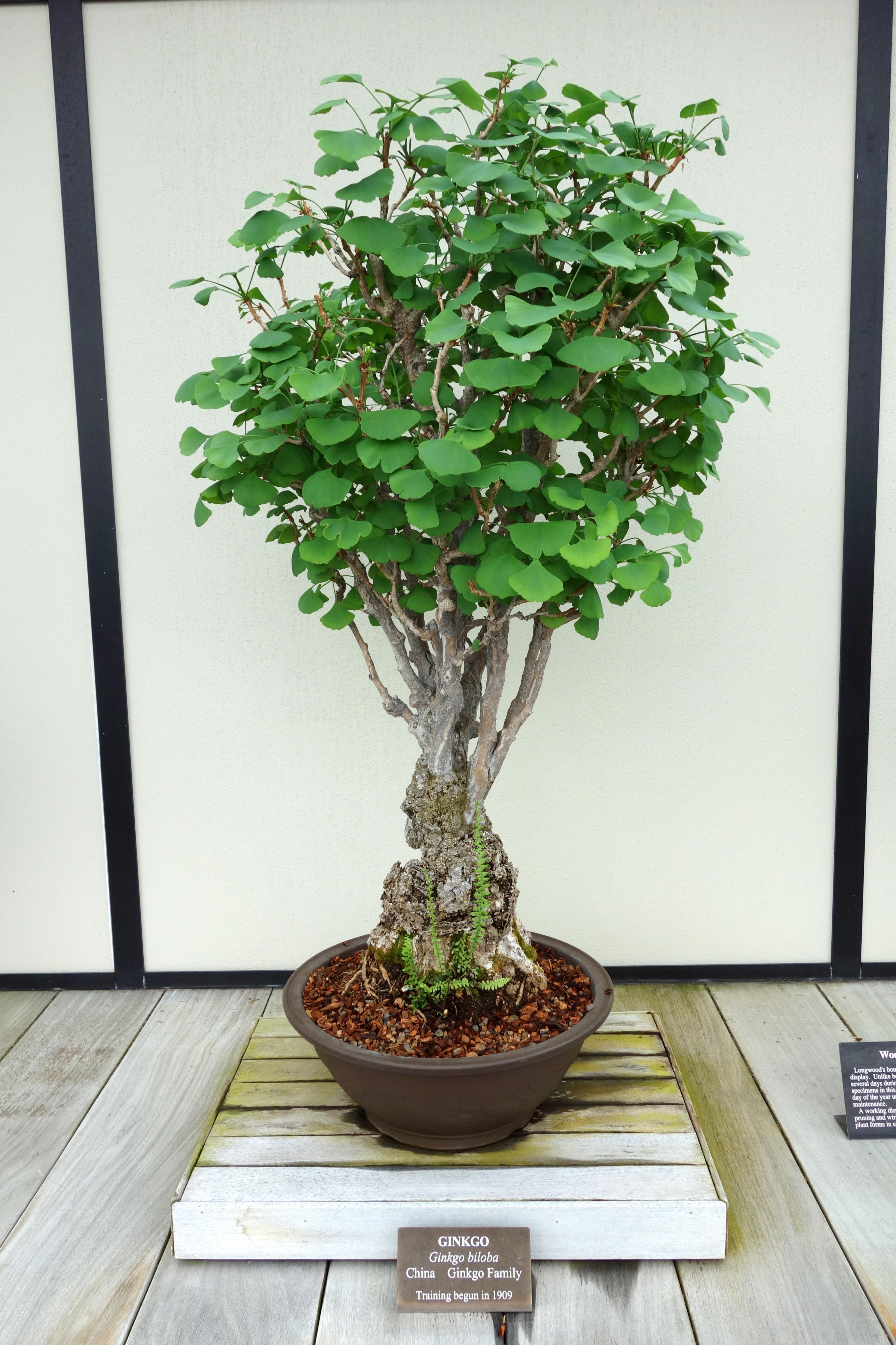 file ginkgo biloba bonsai longwood gardens dsc01260. Black Bedroom Furniture Sets. Home Design Ideas