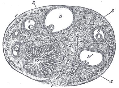 corpus luteum wikipedia Diagram of Corpus Luteum