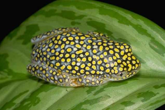 Heterixalus alboguttatus