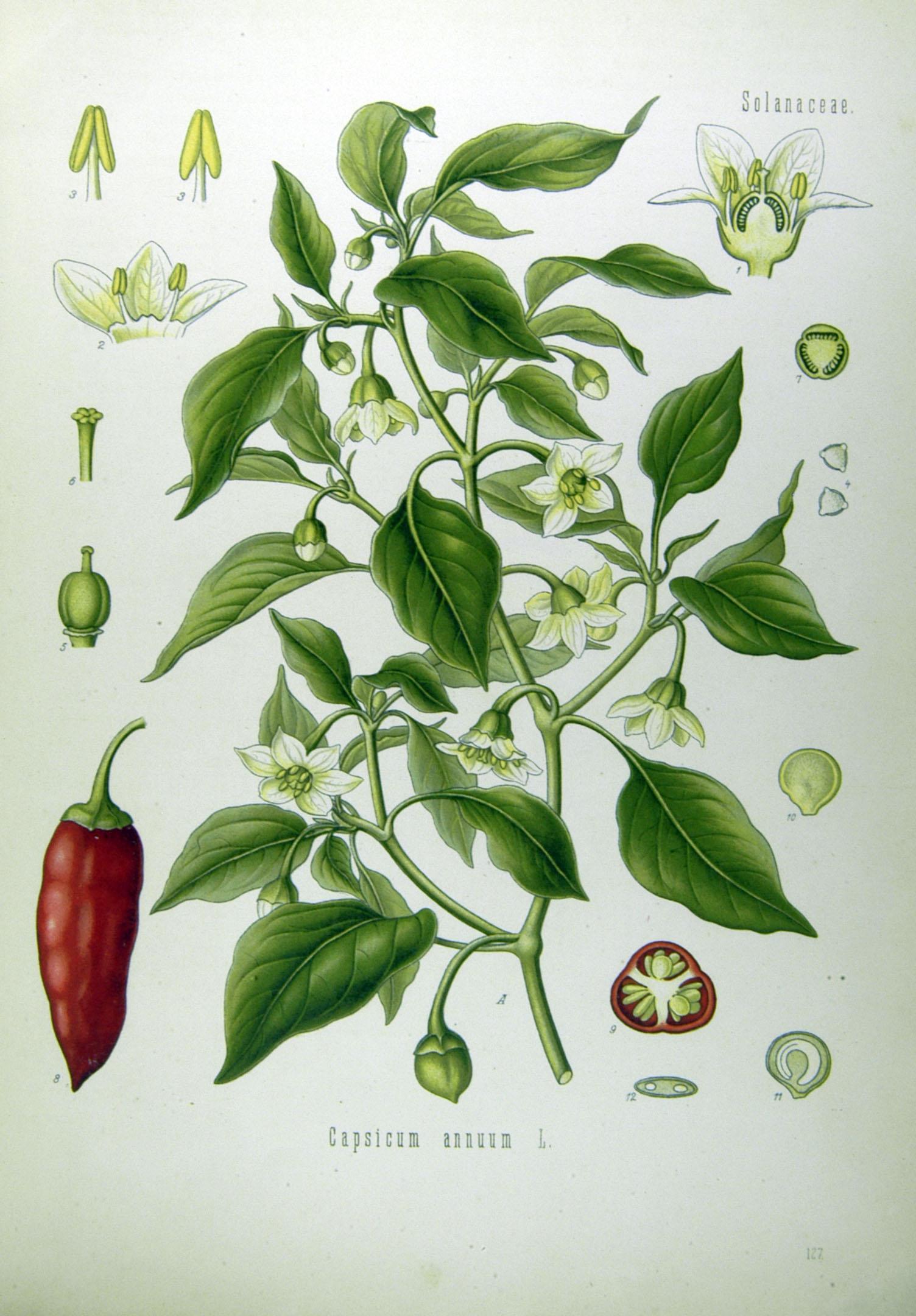 Depiction of Capsicum